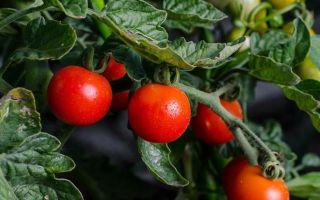 Выращивание помидоров в открытом грунте: технология, уход, сорта