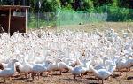 Разведение гусей как бизнес: содержание, уход, лучшие породы, выгодно или нет