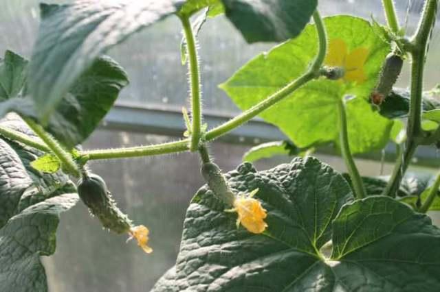 Выращивание огурцов в теплице из поликарбоната: технология, уход, лучшие сорта