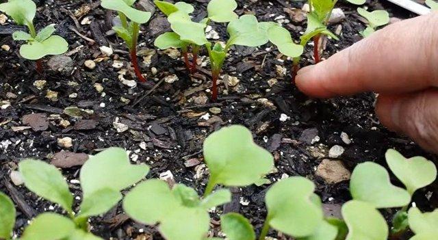 Секреты и технология успешного выращивания редиса в открытом грунте