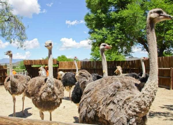 Разведение страусов в домашних условиях для начинающих
