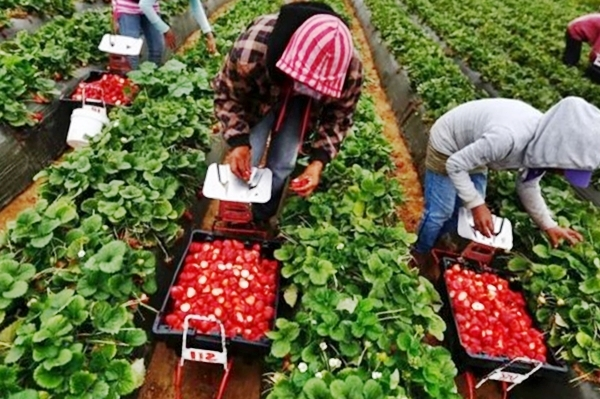 Выращивание клубники в открытом грунте: технология, уход, сорта, секреты