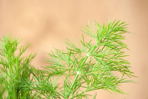 Секреты и технология успешного выращивания укропа в открытом грунте