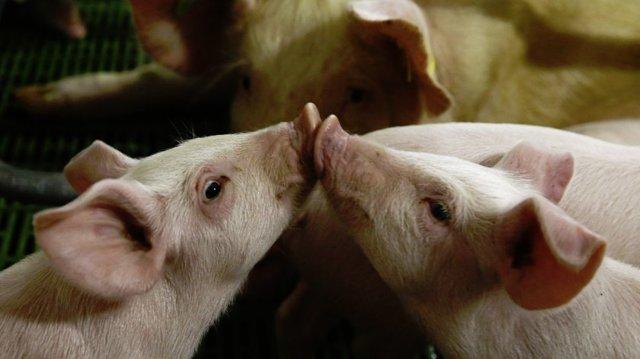 Свиноводство как бизнес: с чего начать, что нужно, как преуспеть, рентабельность бизнеса