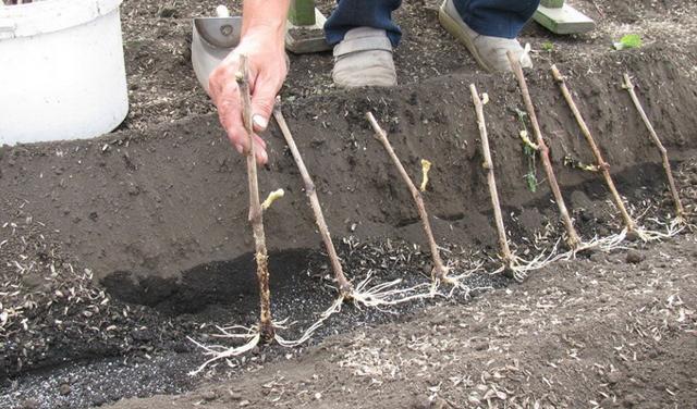 Выращивание винограда в средней полосе: технология, уход, сорта, секреты