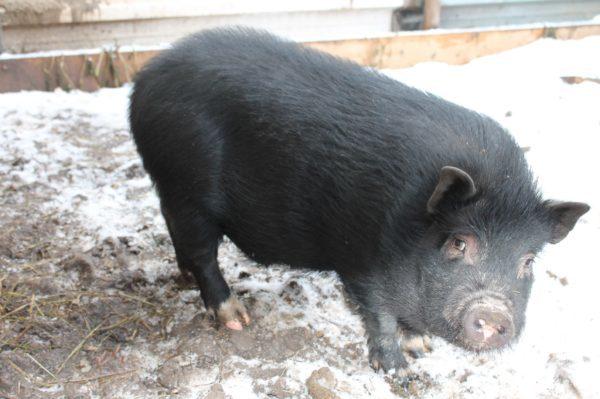 Разведение вислобрюхих вьетнамских свиней в домашних условиях