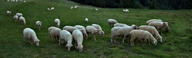 Разведение овец и баранов как бизнес: содержание, уход, кормление