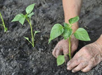 Секреты и технология выращивания перцев в теплице: уход, посадка, сорта
