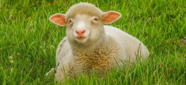 Разведение овец как бизнес: уход, условия содержания, породы