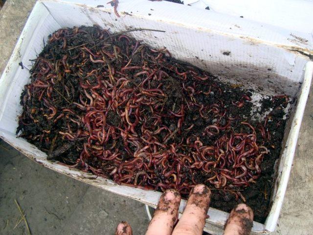 Разведение червей в домашних условиях как бизнес