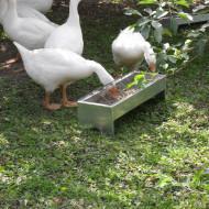 Разведение гусей в домашних условиях для начинающих