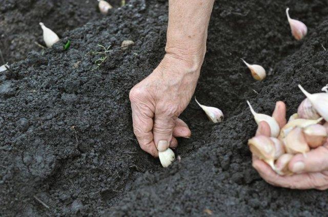 Выращивание чеснока в открытом грунте: технология, посадка, уход, уборка и хранение