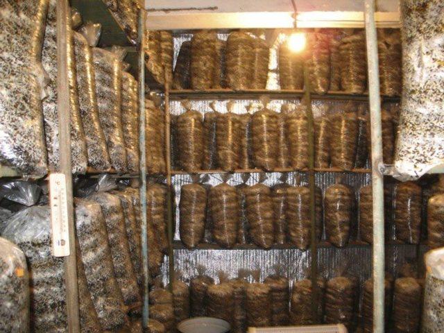 Выращивание вешенки в домашних условиях в опилках: технология