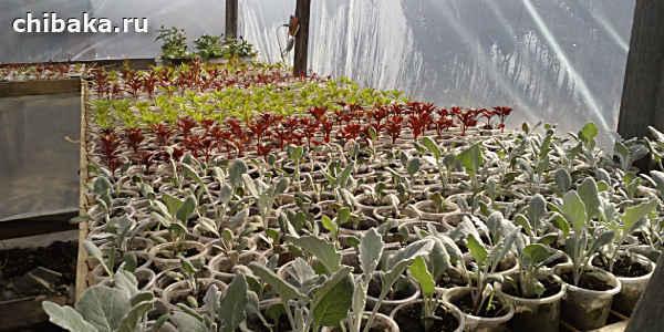 Выращивание рассады томатов в домашних условиях как бизнес