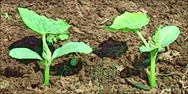 Выращивание рассады огурцов в домашних условиях как бизнес