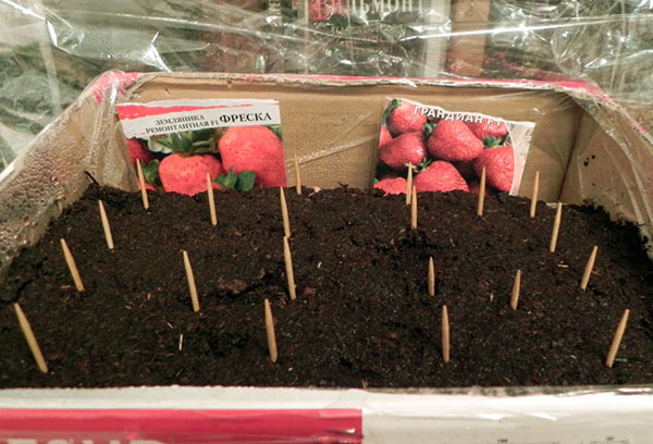 Выращивание земляники из семян в домашних условиях