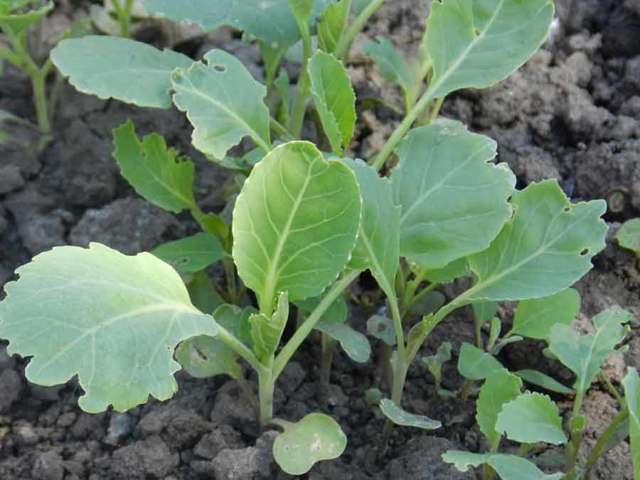 Выращивание капусты в открытом грунте: технология, лучшие сорта, взращивание рассады, нюансы бизнеса