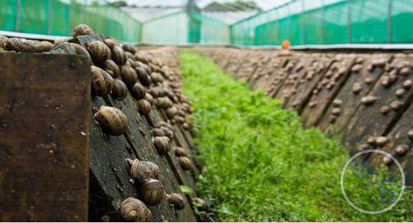 Разведение виноградных улиток как бизнес