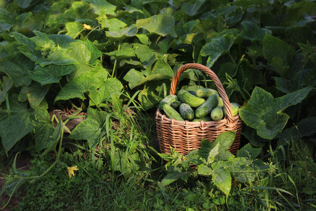 Выращивание огурцов в открытом грунте: технология, уход, лучшие сорта