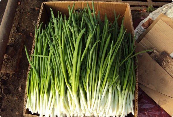 Выращивание лука в открытом грунте как бизнес в домашних условиях
