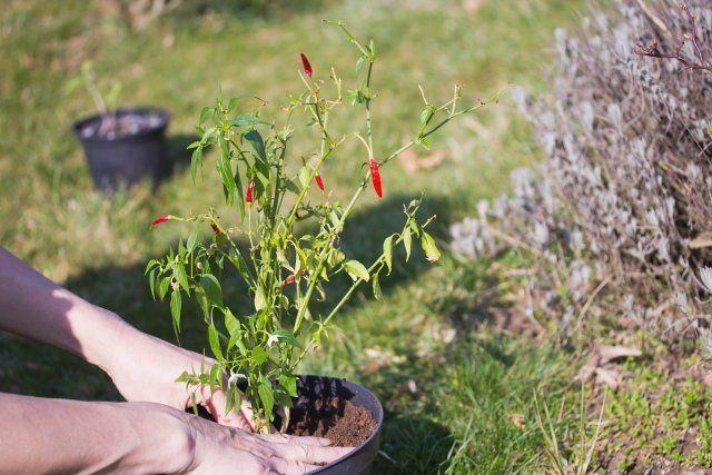 Выращивание сладкого перца в открытом грунте: секреты, технология, уход, сорта