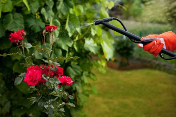 Выращивание роз в открытом грунте: технология, уход, выбор саженцев и места, рентабельность бизнеса