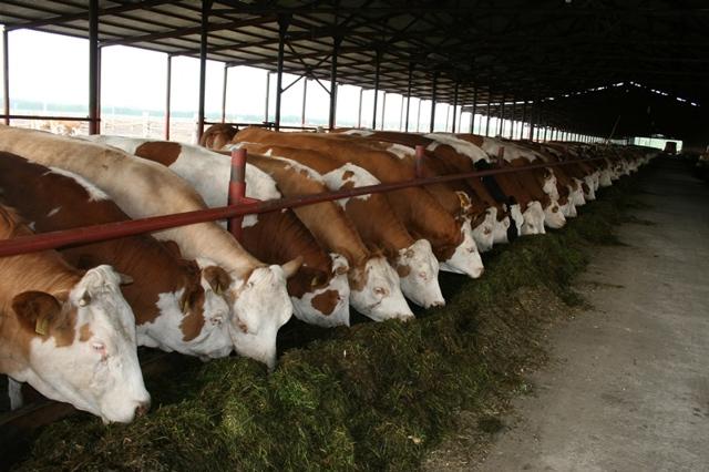 Мини ферма для КРС своими руками