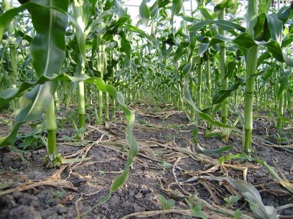 Выращивание кукурузы в открытом грунте как бизнес: технология, лучшие сорта